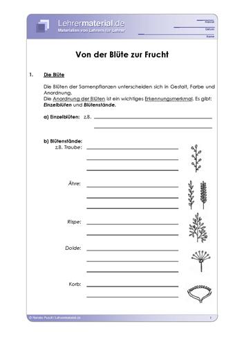 Vorschaugrafik 1 für das  Arbeitsblatt Von der Blüte zur Frucht von Lehrermaterial.de.
